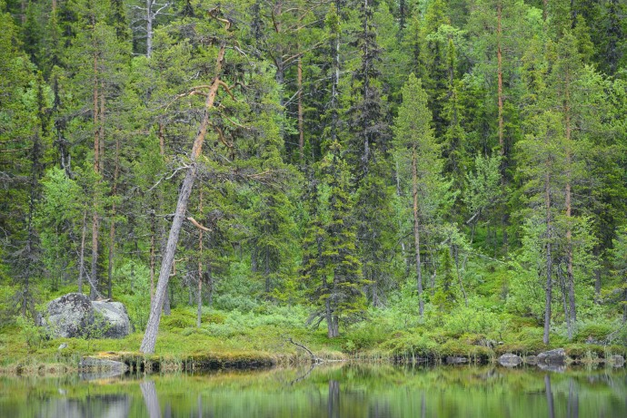 Taiga boreal forest in Kvikkjokk, in the Laponian UNESCO World Heritage Site