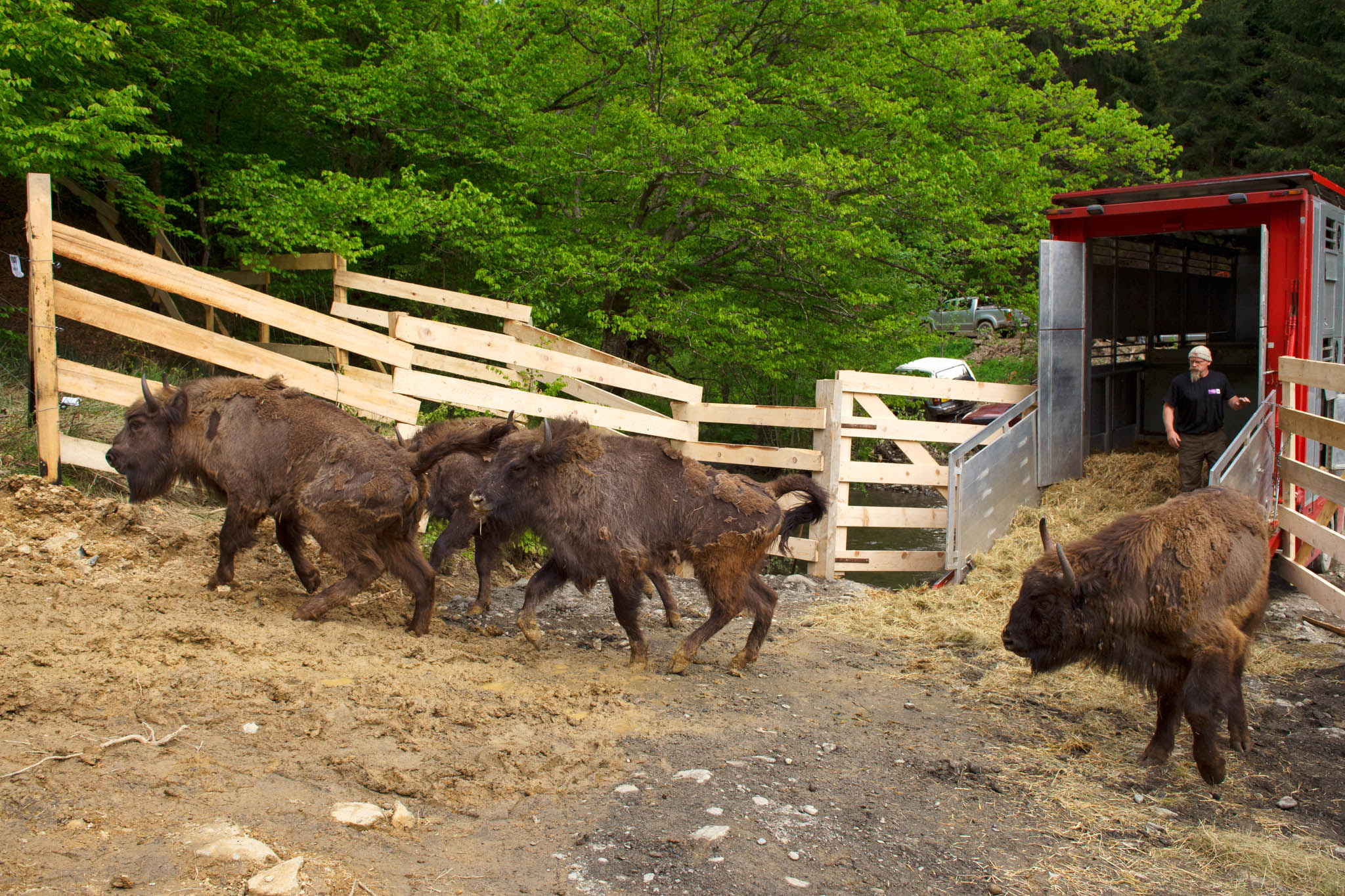 Release of European bison in the Southern Carpathians rewilding area