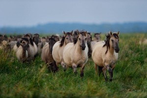 Wild konik horses in the Oder Delta rewilding area