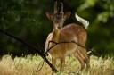 Fallow deer (Dama dama), Eastern Rhodope Mountains, Bulgaria.
