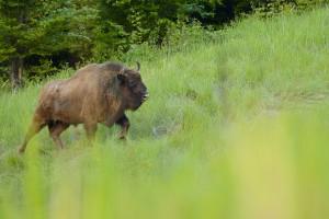 European bison (Bison bonasus), in the Tarçu Mountains Natura 2000 site, Southern Carpathians, Romania.
