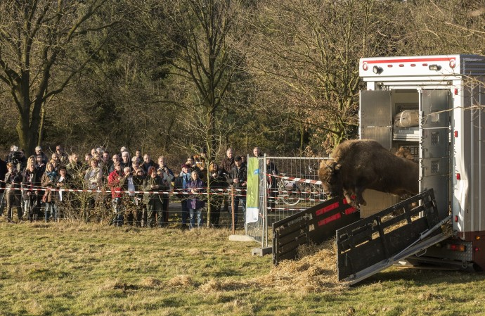 European bison release in the Maashorst nature reserve, The Netherlands.