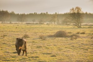 European bison in the 200 hectare large acclimatisation zone, Maashorst nature reserve, The Netherlands.