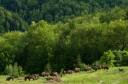 European bison grazing in the Țarcu Mountains, Southern Carpathians rewilding area, Romania.