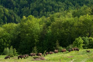 European bison grazing in the Țarcu Mountains, Southern Carpathians rewilding area, Romania.