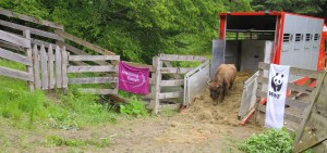 In April 2017, a new group counting nine European bison safely arrived at Southern Carpathians rewilding area.