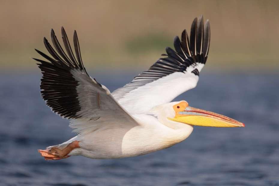 White pelican in the Danube Delta, Romania