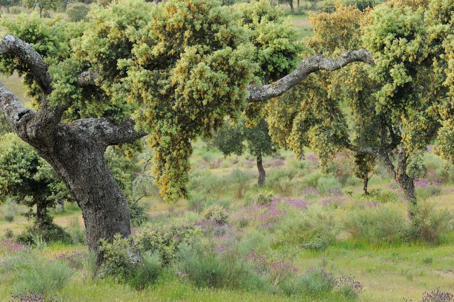 Dehesa forests with holm oak, Western Iberia