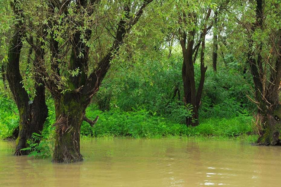 Swamp forest, Danube delta, Romania