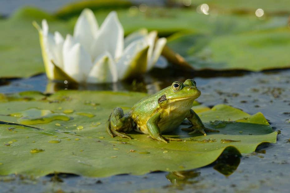 Pool frog, Danube Delta, Romania