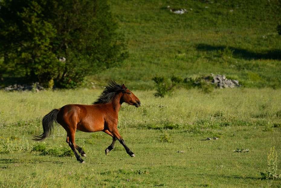 Wild Bosnian mountain horses, Velebit Mountains, Croatia