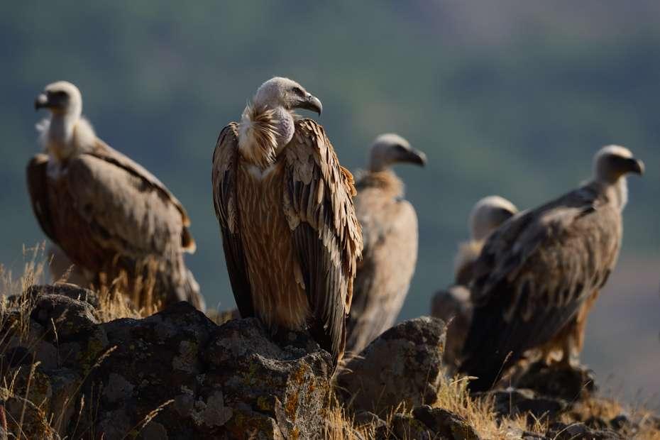 Griffon vulture, Rhodope Mountains, Bulgaria