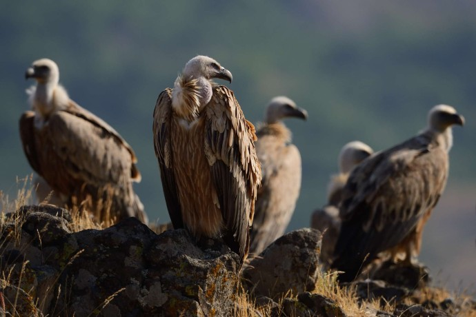 Griffon vulture, Rhodope Mountains, Bulgaria