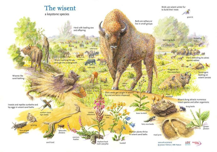 The European bison facilitates a rich biodiversity in European landscapes.