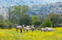 Free living Sorraia horses in Faia Brava nature reserve, Western Iberia rewilding area, Portugal.