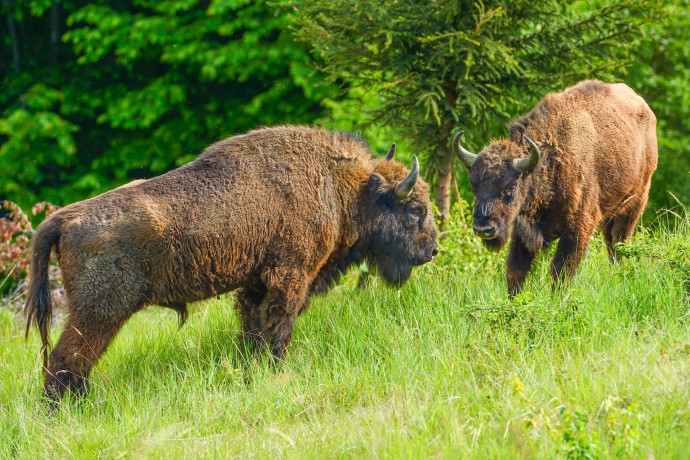 European bison in the Țarcu Mountains, Southern Carpathians, Romania.