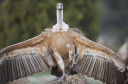 One Griffon vulture is a casualty of the recent poisoning cases in the Bulgarian Rhodope Mountains.