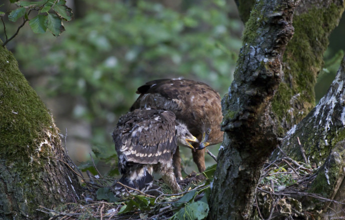 Adult lesser spotted eagle (Aquila pomarina) feeding its chick, Oder Delta rewilding area, Germany.