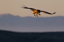 Griffon vulture in flight during sunset.