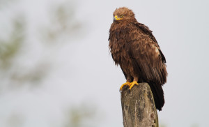 Adult lesser spotted eagle (Aquila pomarina) perched on electric wire post in Oder Delta rewilding area.