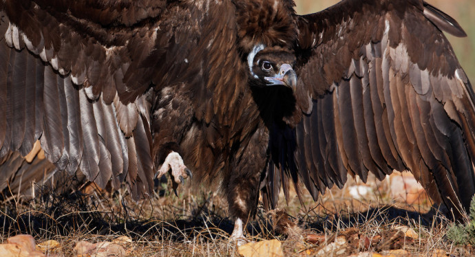 The LIFE Vultures project aims to equip 20 black vultures and a similar number of griffon vultures with satellite transmitters.