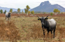Large herbivores grazing in Lika Plains are already adapted to the harsh weather conditions of Velebit Mountains.