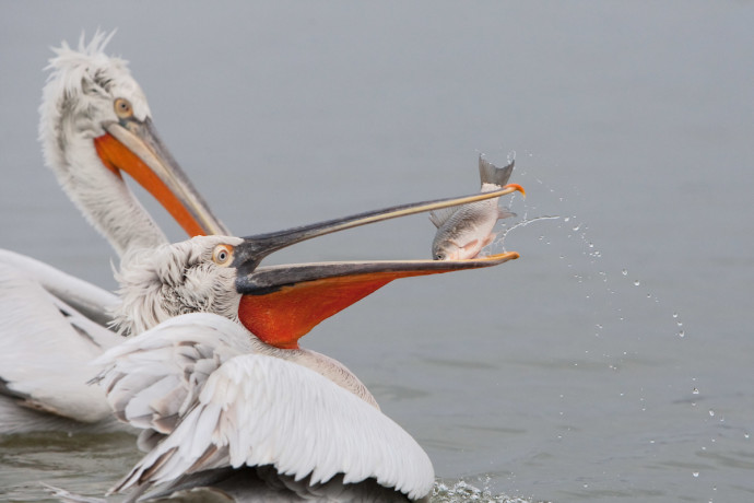 In winter, adult Dalmatian pelicans go from silvery-grey to a dingier brownish-grey cream colour.