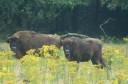 European bison, Veluwe, the Netherlands