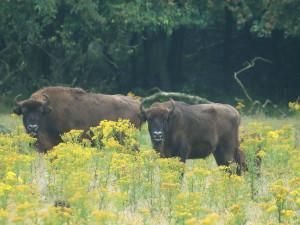 European bison in Veluwe National Park, the Netherlands.