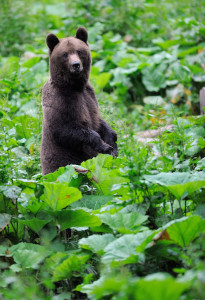 Bear watching and photography are the most common forms of non-consumptive bear use.