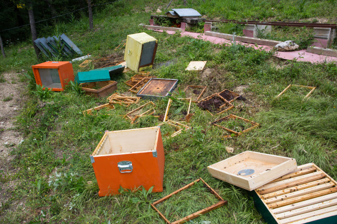 Beehives damaged by brown bear in Central Apennines rewilding area, Italy.