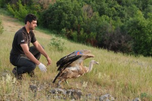Volen Arkumarev releases a griffon vulture tagged with a satellite transmitter in the Rhodope Mountains, Bulgaria.