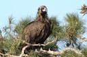 Black vulture in Dadia National Park.