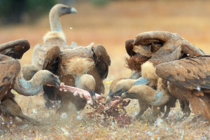 Thanks to reintroductions and species protection, European vulture populations are now slowly but steadily recovering.