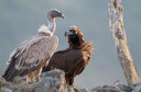 A special highlight of the exhibition is the photography of local griffon and black vultures.