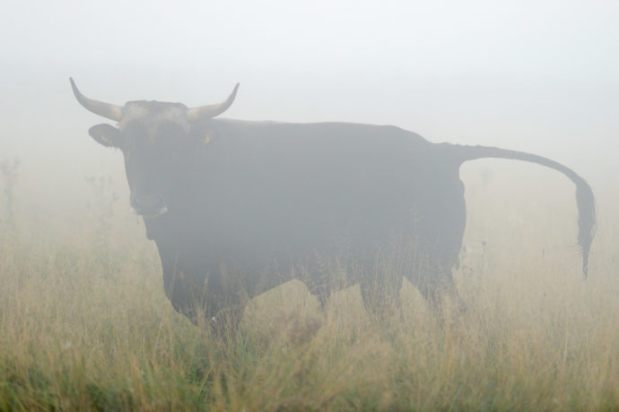 Bull of second generation crossbreeds at the Tauros breeding site in the Netherlands.