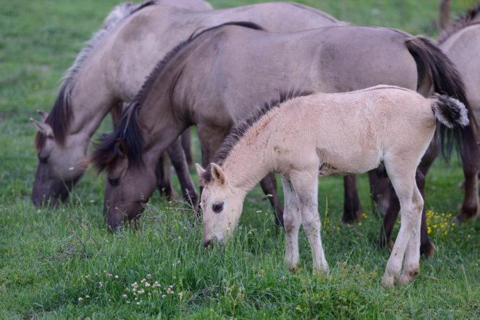 Wild living Konik horses in the Rhodope mountains, Bulgaria.