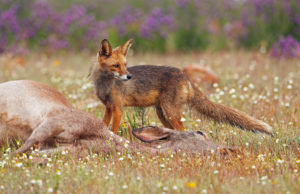Rewilding Europe and ARK Nature want to help Europe's scavengers by encouraging a fresh look at how herbivore carcasses are managed across the continent.