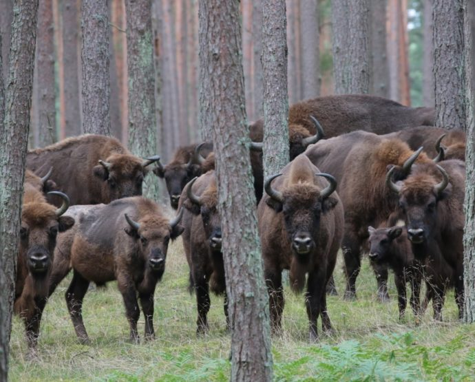 The LIFE project in Poland has seen bison numbers in the north-west of the country nearly double from 110 to 200 individuals.