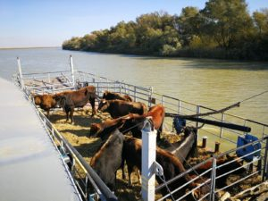 In November 2017 ten more Tauros arrived in the Danube Delta rewilding area in Romania, joining the first group transported here in 2015.