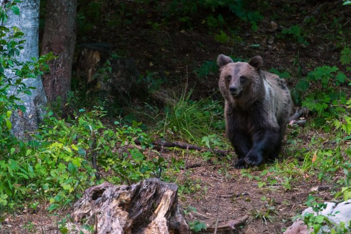 Brown bear photographed by Ingo Zahlheimer during his stay in the wildlife watching hide in Croatian Velebit Mountains rewilding area.