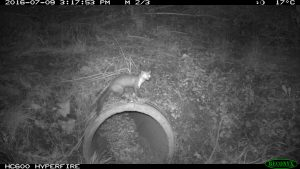 A beech marten becomes acquainted with a wildlife tunnel.